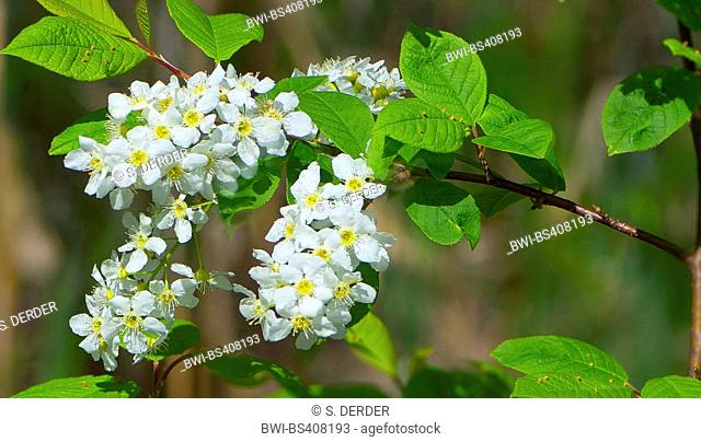 European bird cherry (Prunus padus, Padus avium), blooming branch, Germany, Bavaria, Oberbayern, Upper Bavaria