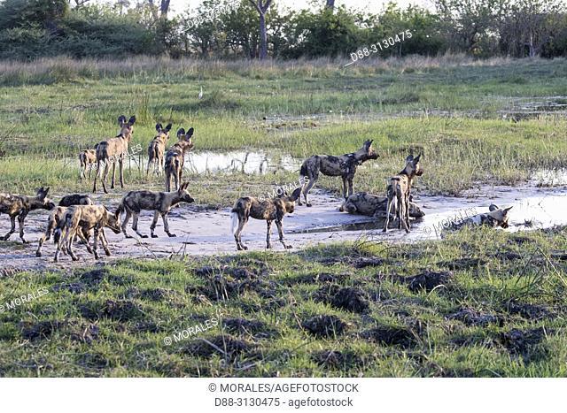 Afrique, Afrique australe, Bostwana, Parc national de Moremi, Lycaon (Lycaon pictus), groupe / Africa, Southern Africa, Bostwana, Moremi National Park