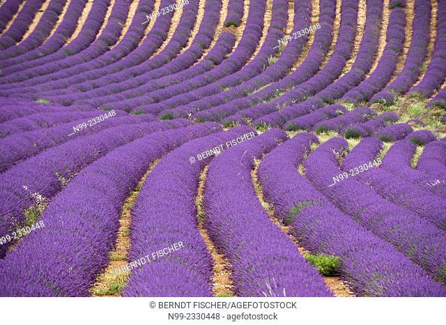 Lavander field, Provence, France