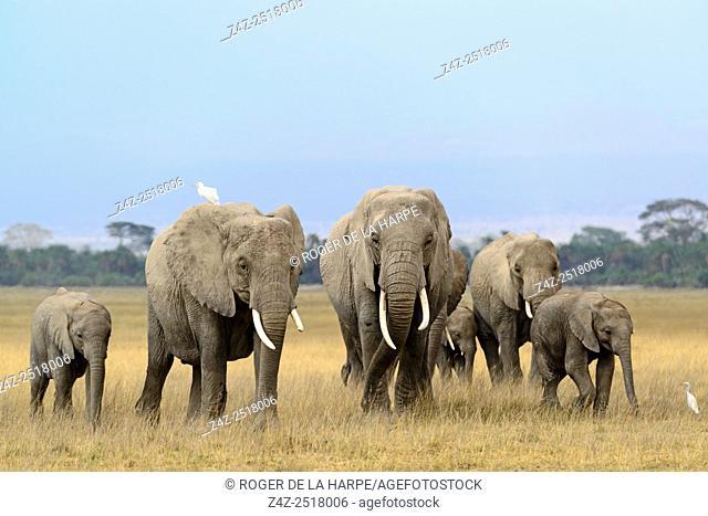 African bush elephant (Loxodonta africana) herd. Amboseli National Park. Kenya
