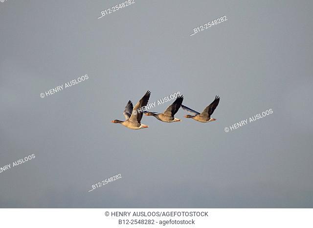 Greylag Goose (Anser anser), Flight, Netherlands