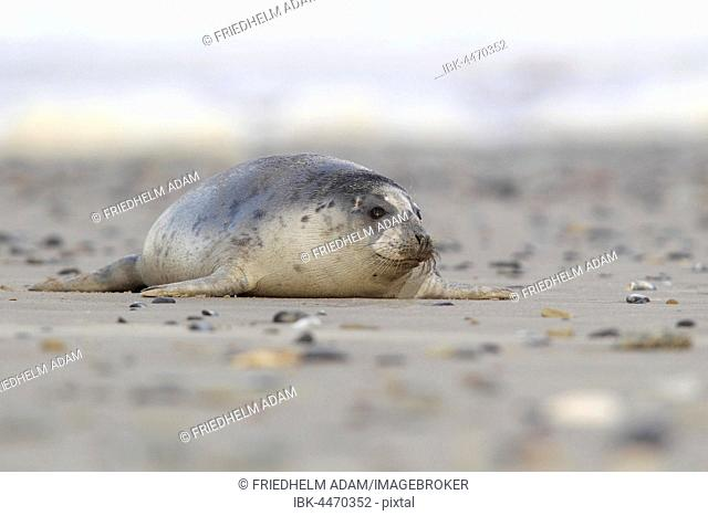 Harbour seal (Phoca vitulina) adult, on beach, Helgoland, North Sea, Germany