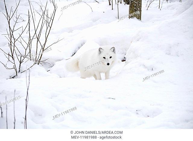 Mammal. Arctic Fox