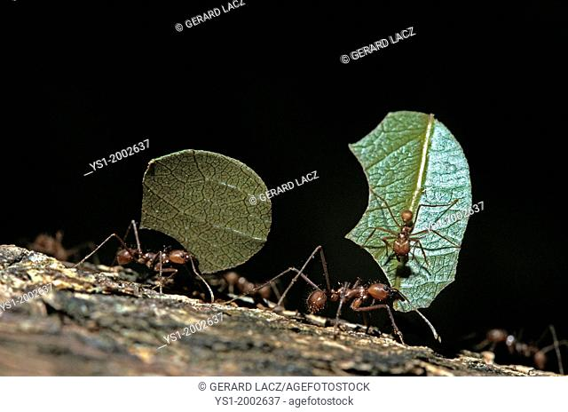 Leaf-Cutter Ant, atta sp., Adult carrying Leaf Segment to Anthill, Costa Rica