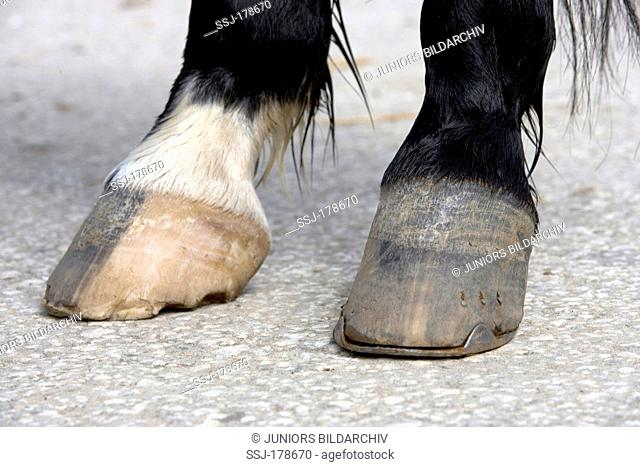 Domestic horse with lost shoe on a forefoot