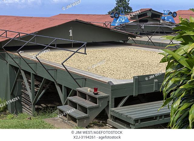 Kealakekua, Hawaii - Coffee beans drying before being roasted at Greenwell Farms, a major producer of Kona Coffee. The red roofs can be rolled over the drying...