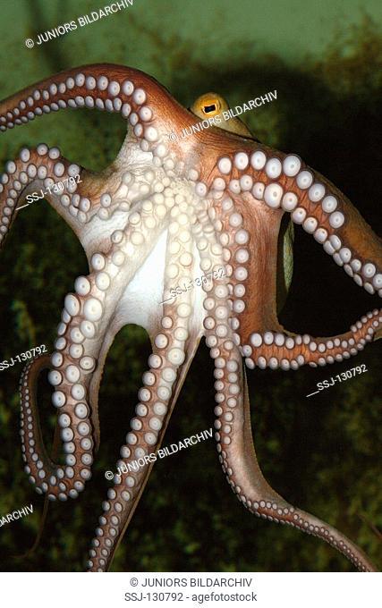 common octopus - Octopus vulgaris