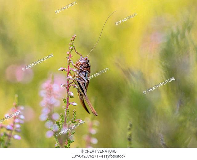 Bog Bush-cricket (Metrioptera brachyptera) perched on heath in natural habitat