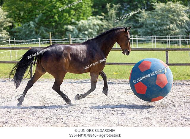 French Trotter. Bay adult playing with a ball. Switzerland