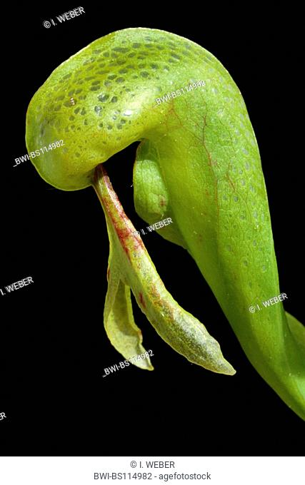 California pitcher plant, Cobra Lily Plant (Darlingtonia californica), trap
