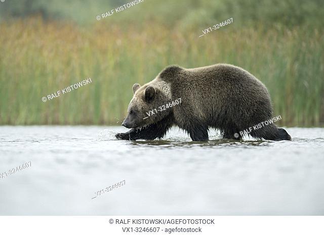 European Brown Bear / Europaeischer Braunbaer ( Ursus arctos ) walks through shallow water, hunting, searching for food, exploring its environment.