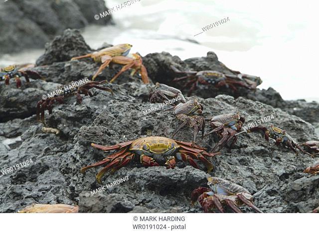 Sally lightfoot crab Grapsus grapsus Galapagos