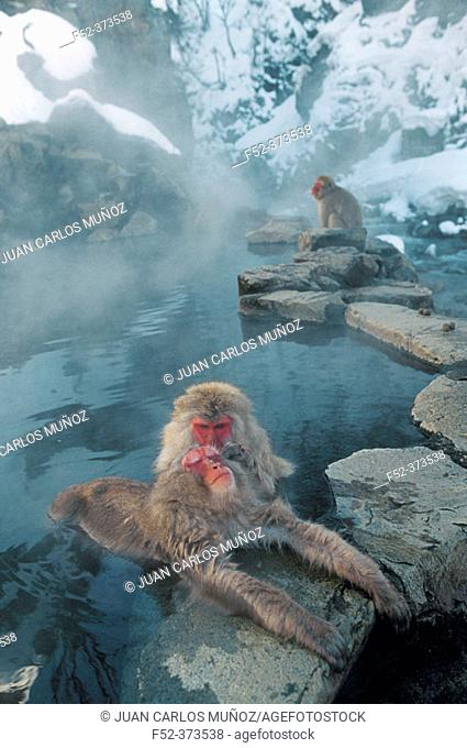 Japanese Macaques (Macaca fuscata). Jigokudani Yaien. Japan
