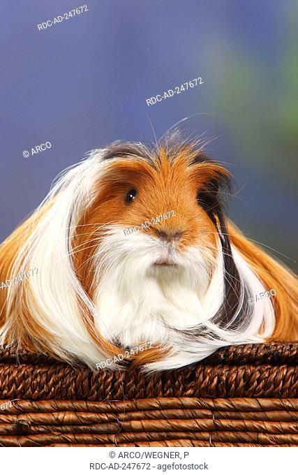 Coronet guinea pig tortoiseshell and white Stock Photos and