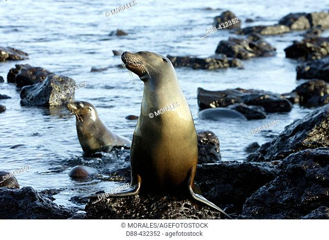Galapagos Sea Lion (Zalophus californianus wollebacki). San Cristóbal (Chatham) island, Galapagos Islands, Ecuador