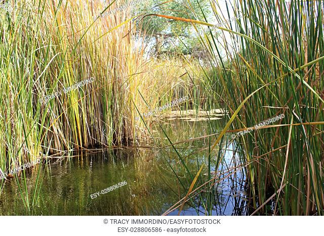 Peeking through cattails at a desert wetlands oasis with cattails surrounding and reflecting in the water in Arizona, USA