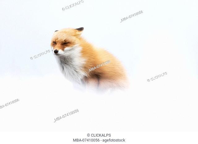 Red fox, Notsuke peninsula, Shibetsu, eastern hokkaido, Japan