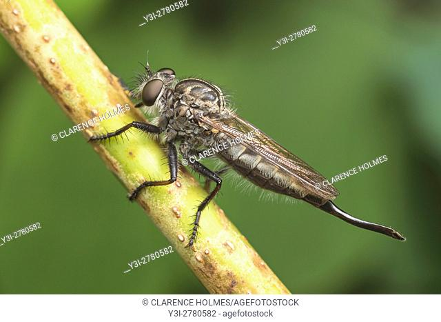 A female Robber Fly (Efferia aestuans) waits on a plant stem for passing prey