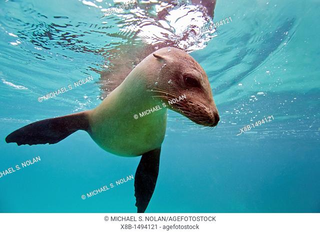 Young Galapagos sea lion Zalophus wollebaeki underwater in the Galapagos Island Archipelago, Ecuador  MORE INFO The population of this sea lion fluctuates...