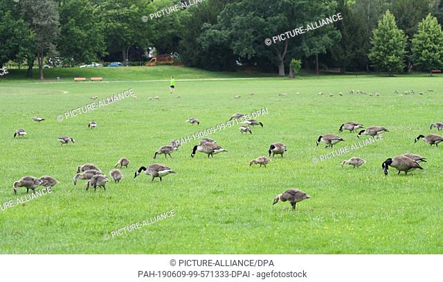08 June 2019, Hessen, Frankfurt/Main: Canada geese eat on the meadow of Frankfurt's Ostpark. In order to keep the annoying wild geese away from the sunbathing...