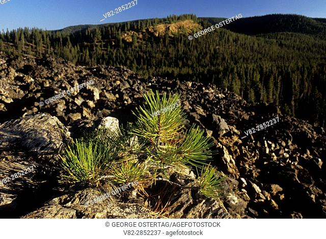 Pine on Obsidian Flow, Newberry National Volcanic Monument, Oregon