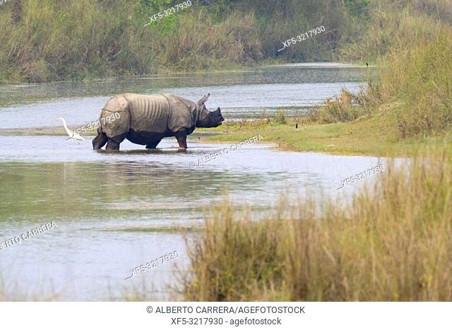Greater One-horned Rhinoceros, Indian Rhinoceros, Asian Rhino, Rhinoceros unicornis, Wetlands, Royal Bardia National Park, Bardiya National Park, Nepal, Asia