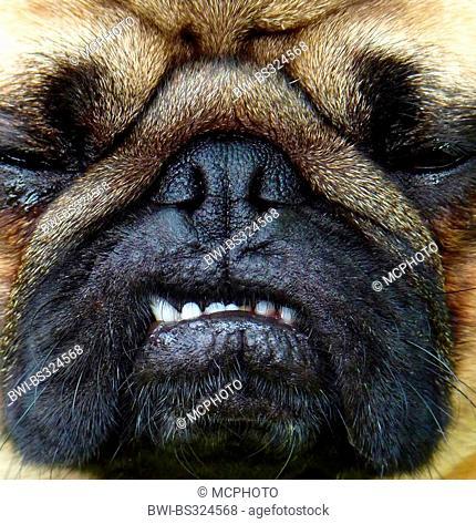 Pug (Canis lupus f. familiaris), face