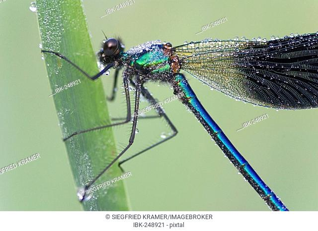 Banded Demoiselle (Calopteryx splendens) male