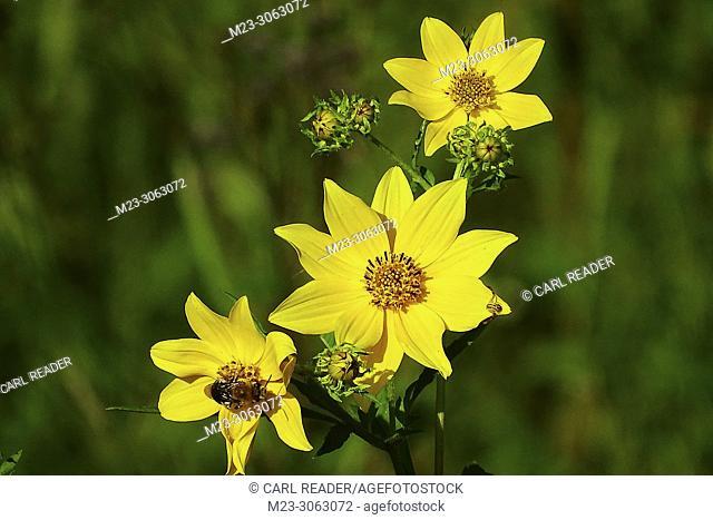 Tickseed Sunflower, Bidens aristosa, signals late summer has arrived, Pennsylvania, USA