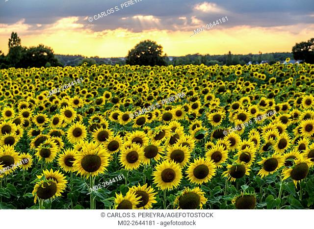 Sunflowers field at Loire Valley, France, Europe
