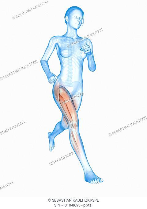 Muscular system of a runner, computer illustration