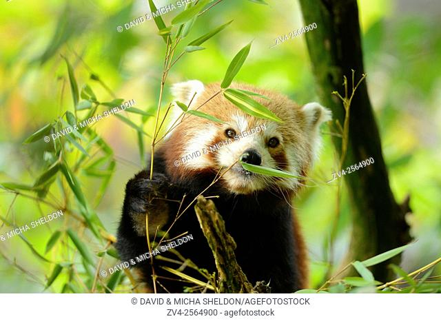 Close-up of a red panda (Ailurus fulgens) in a tree