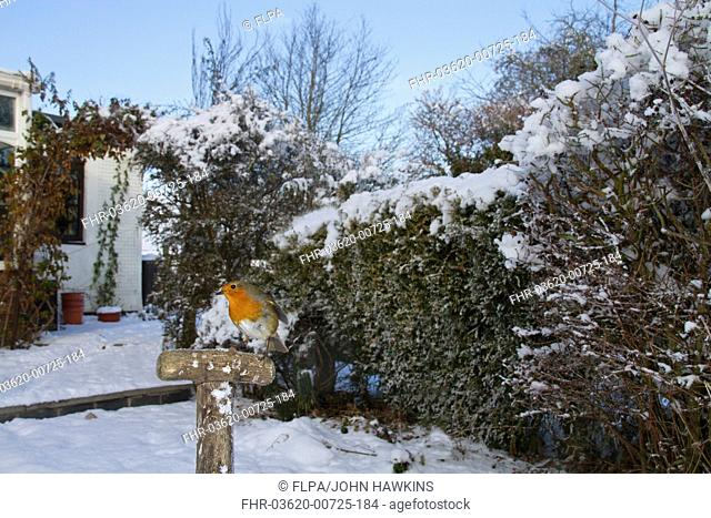 European Robin Erithacus rubecula adult, perched on tool handle in snow covered garden habitat, Shropshire, England, november