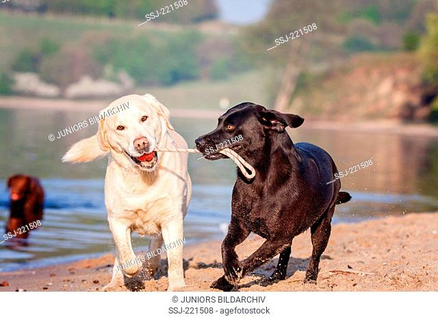 Labrador Retriever. Black bitch and yellow male on a beach, playing with a dummy. Germany