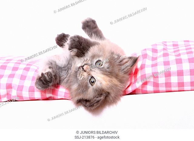 Norwegian Forest Cat. Kitten (6 weeks old) lying on a checkered cushion. Studio picture against a white background. Germany