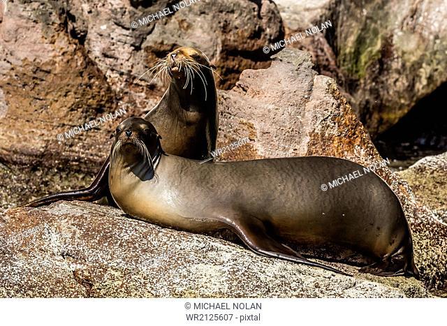 California sea lion (Zalophus californianus) pair hauled out on Isla San Pedro Martir, Baja California, Mexico, North America