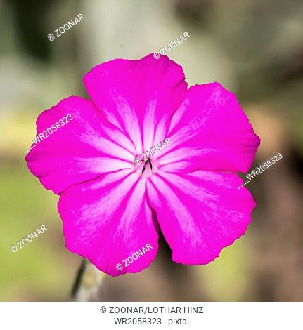 Silene coronaria, Dusty Miller, Mullin-pink