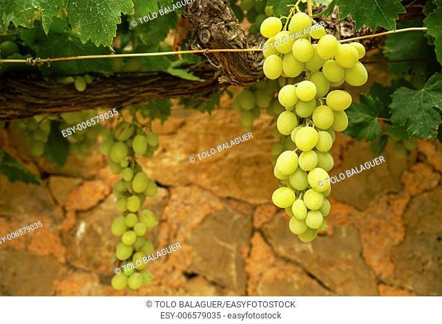 Ecological bio vineyards of the winery Mesquida-Mora. Moli de Son Porques. Porreres. Es Pla. Mallorca. Illes Balears. Spain
