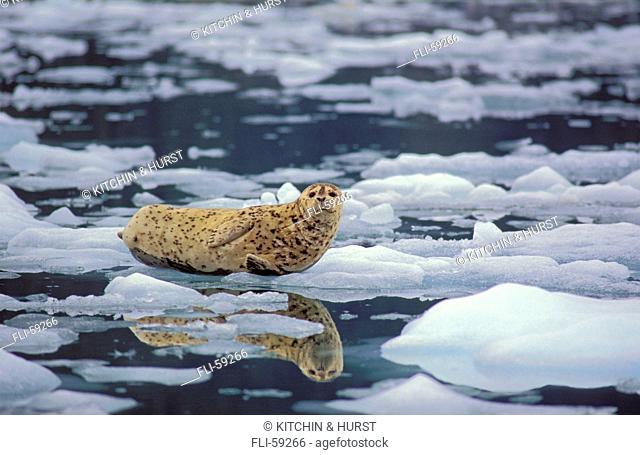 26928D, Harbour Seal, LeConte Glacier, Alaska