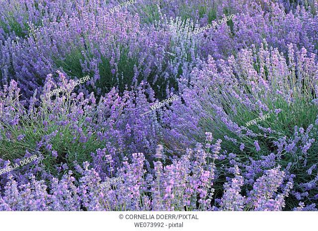 Lavender field (Lavandula augustifolia), Plateau de Valensole, Puimoisson, Provence, France