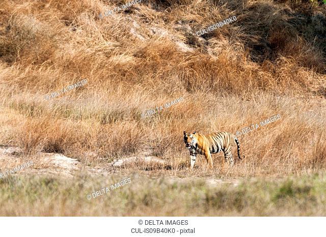 Bengal tiger (Panthera tigris tigris), Bandhavgarh National Park, India