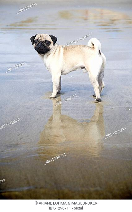 A pug is standing in shallow water at the sea