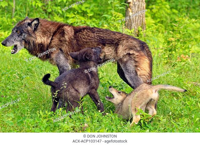 Gray wolf (Canis lupus} captive raised- cubs at play with black-morph adult, Minnesota Wildlife Connection, Sandstone, Minnesota, USA