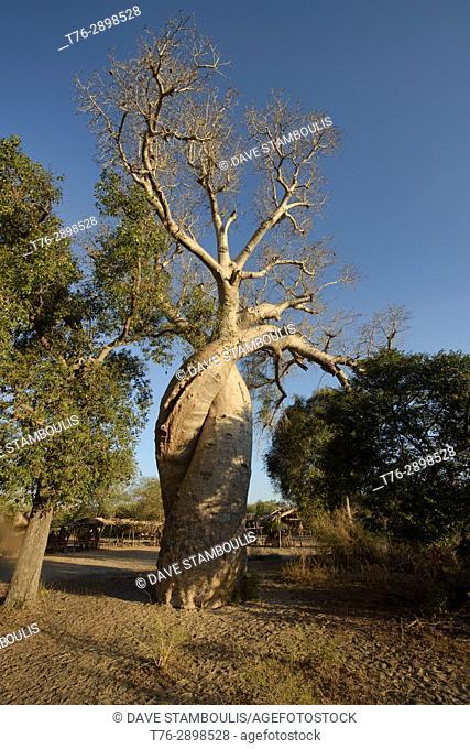 Baobab Amoureux (Lover Baobabs), Menabe, Madagascar