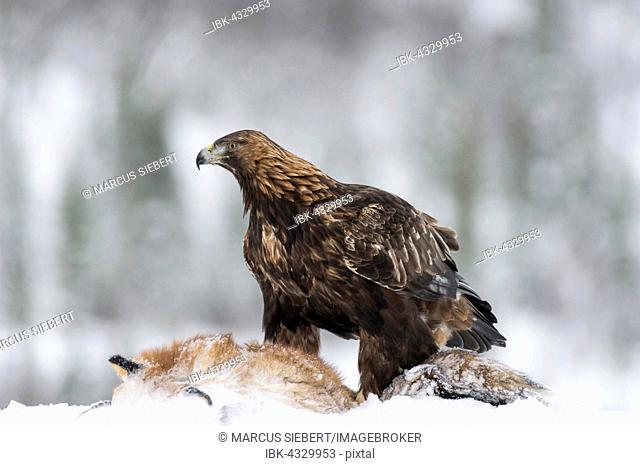 Golden Eagle (Aquila chrysaetos) with fox as prey in snow, Flatanger, Norway, Scandinavia