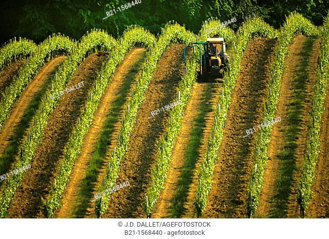 Vineyard in spring, at Panjas, in the Bas Armagnac area, Gers, Midi-Pyrenees, France