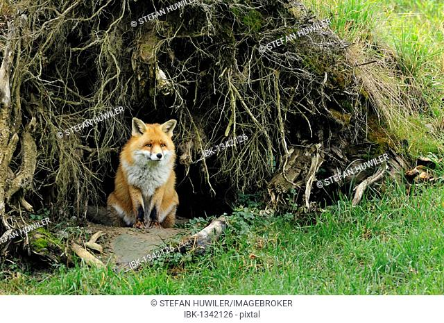 Red fox (Vulpes vulpes) looking out of its den