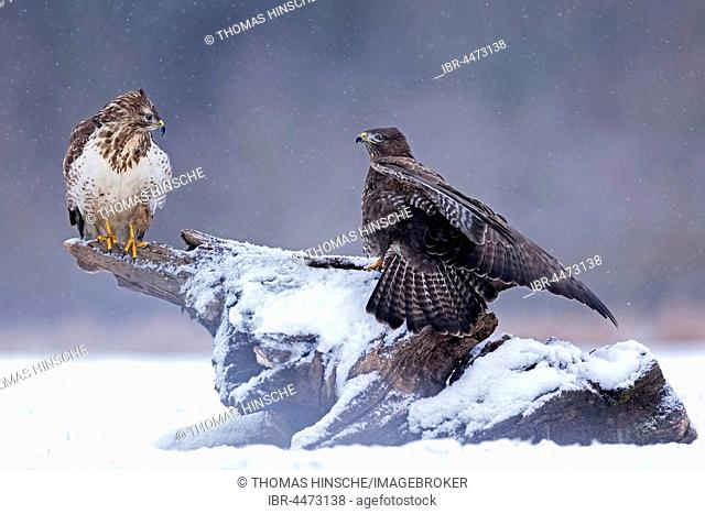 Common Buzzards (Buteo buteo) during snowfall, light and dark morphs, Middle Elbe Biosphere Reserve, Saxony-Anhalt, Germany