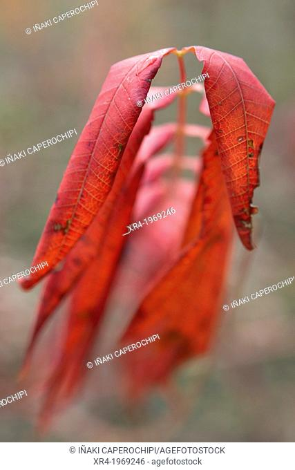Leaves in Autumn in the recreational area of Lukun, Natural Park Pagoeta, Aia, Gipuzkoa, Basque Country, Spain