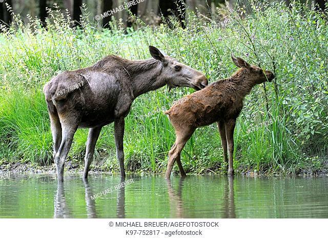European mooses (Alces alces), Cow with calf, Smaland, Sweden, Scandinavia